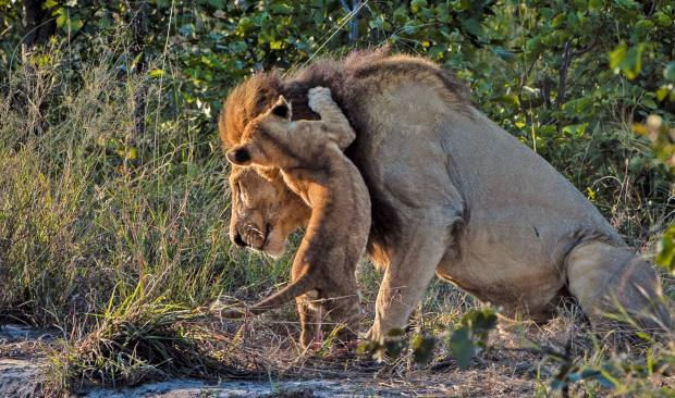 Lion, leopard, elephant and buffalo can all be seen thereon a single day