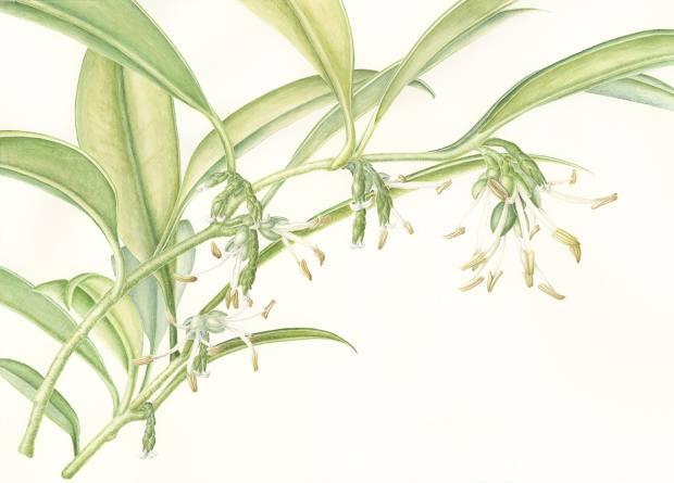 Sarcococca hookeriana var humilis (dwarf sweet box) by Jeanne Debons, £525