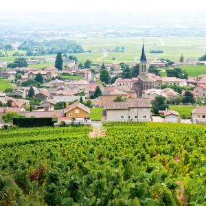 Gamay vineyards in thefamous Beaujolais cru, Fleurie