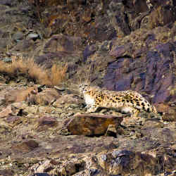 Voygr has a few spaces left on a 16-day snow leopard expedition in India