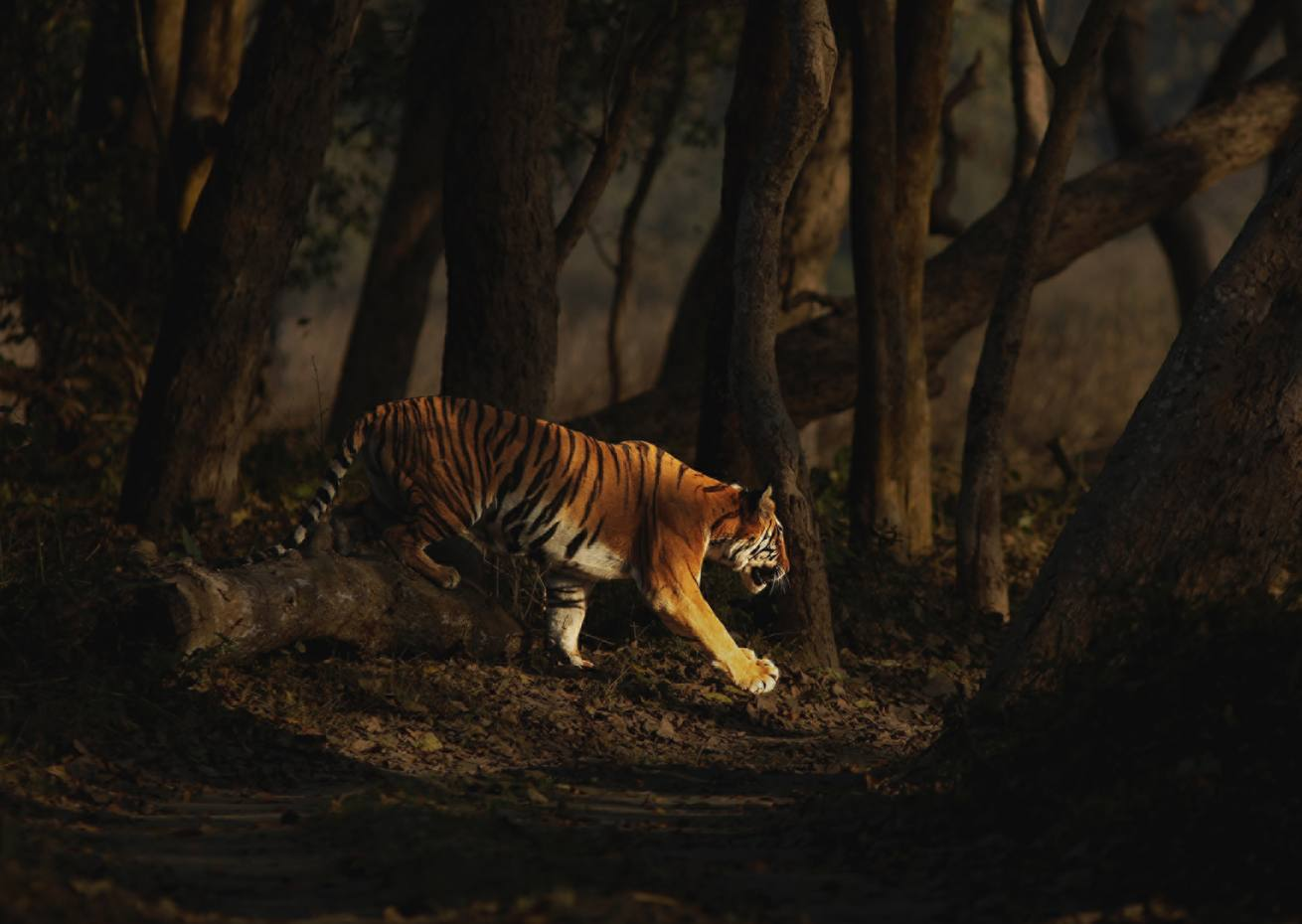 The wealth of wildlife at Dudhwa includes tigers, elephants and rhinos