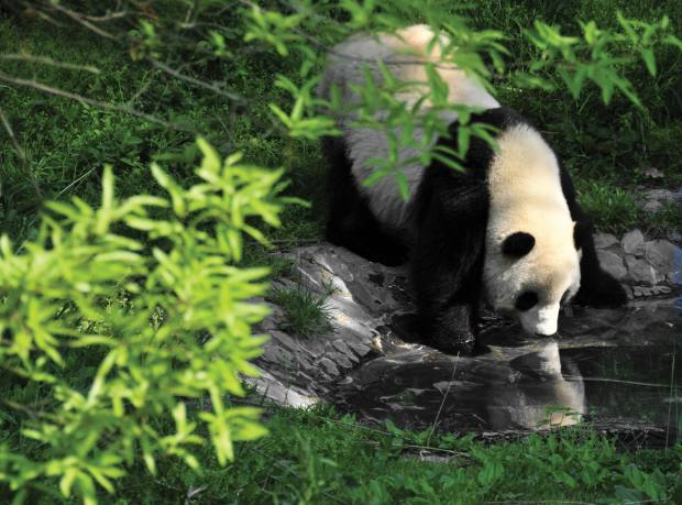 A giant panda at the Panda Valley breeding centre