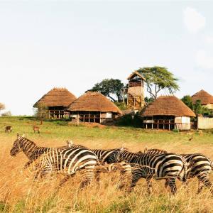 Zebras wander past Apoka Safari Lodge, in Kidepo Valley National Park