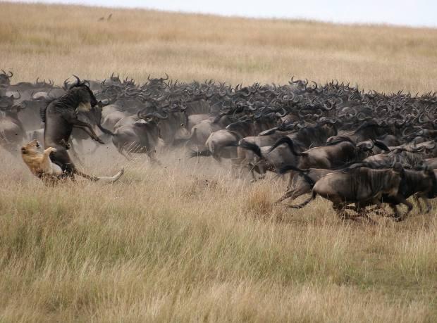 Lion taking down wildebeest near Mara Plains Camp