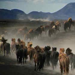 Driving horses across Iceland's bleak and barren landscape.
