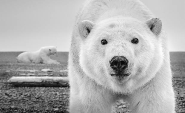 A polar bear peers at the lens in this work named Hello