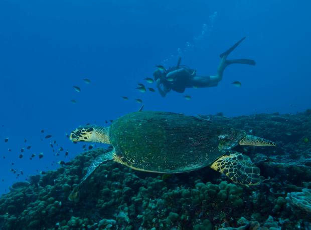 A diver swims beside a turtle