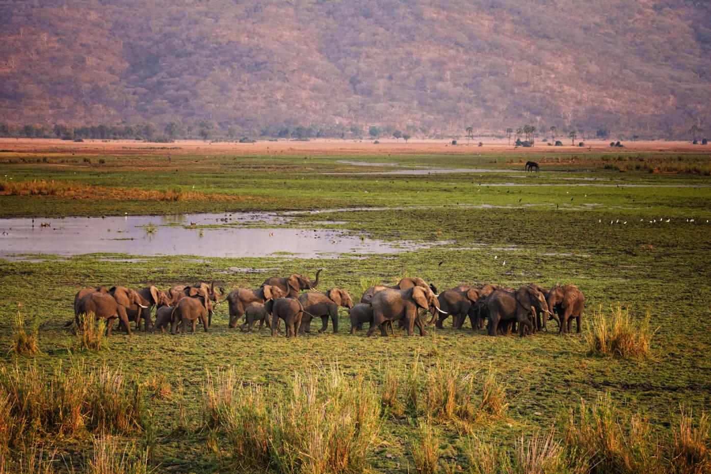 Elephants roam Liwonde National Park