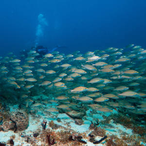 An underwater experience with Jean-Michel Cousteau Diving, Petit St Vincent