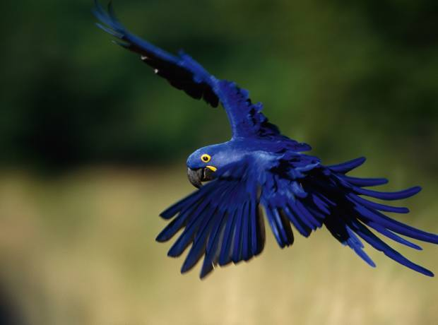 The striking plumage of the hyacinth macaw.
