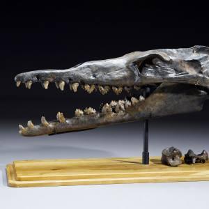 Prehistoric whale skull, sold for $77,500 at Bonhams