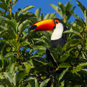 The Toco Toucan is one of the species supported by Brazil's tropical savannah