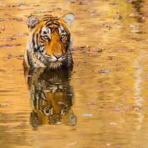 With temperatures hovering around 40 degrees, Jami Tarris captured a young male tiger in a cool waterhole looking for respite from the heat