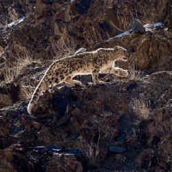 Hemis National Park is believed to have the world's densest population of snow leopards