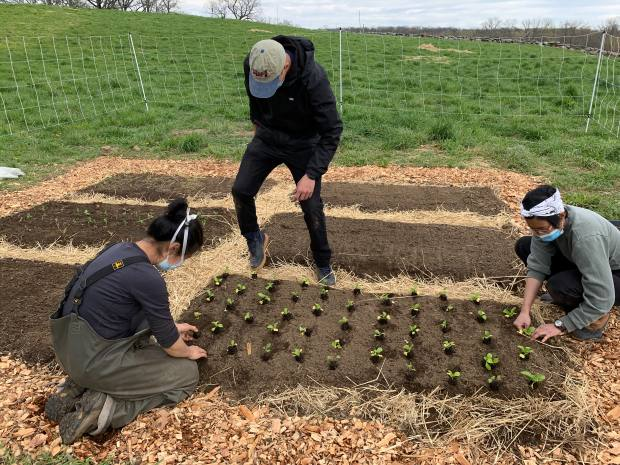 The Blue Hill cooks plant out seedlings