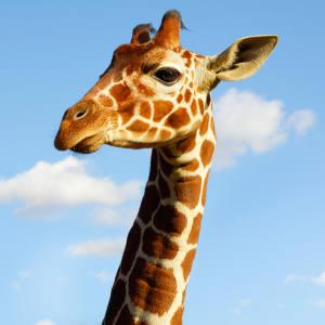 Khari is ZSL Whipsnade Zoo's youngest giraffe