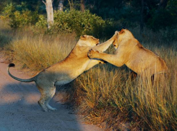 Lions are one of the Big Five found at Kapama Reserve.