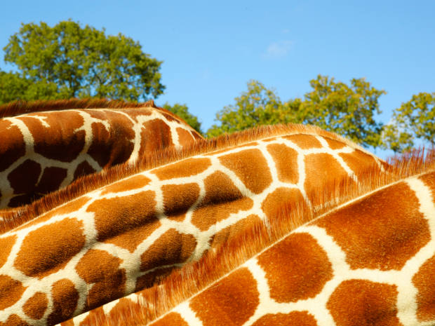 The most recent data shows that giraffe numbers have fallen by an estimated 30 to 40 per cent over the past 30 years
