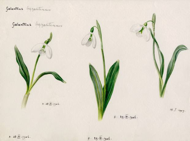 Watercolour drawings that Bowles made in 1906-7 of Galanthus byzantinus.