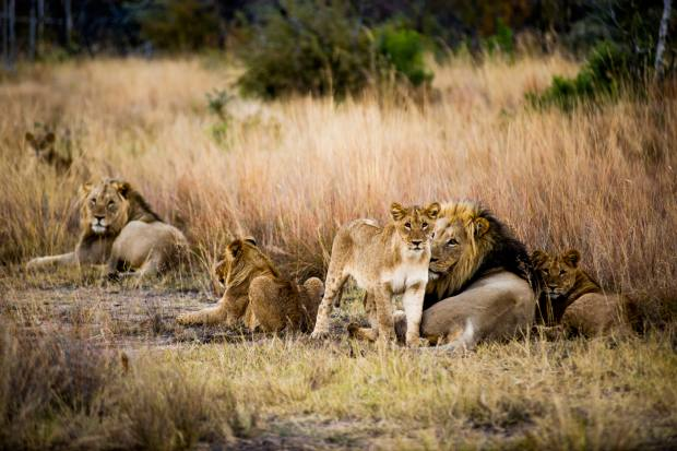 A pride of lions spotteden route