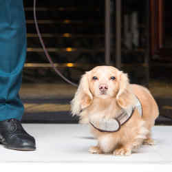 Dogs staying in a superior room at Mandarin Oriental Hyde Park will get special treats from luxury dog accessories brand Teddy Maximus