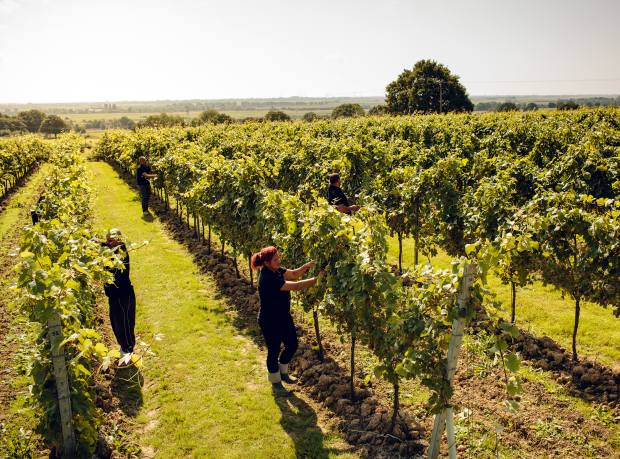 The harvest at Gusbourne Estate in Kent