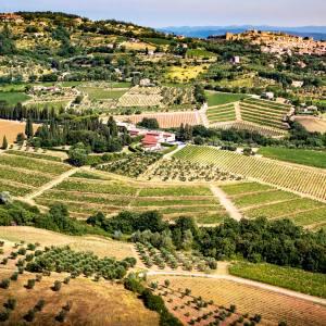 Vineyards of the Greppo estate near Siena