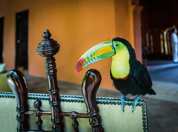 A resident toucan at the Sofitel Legend Santa Clara in Cartagena, Colombia