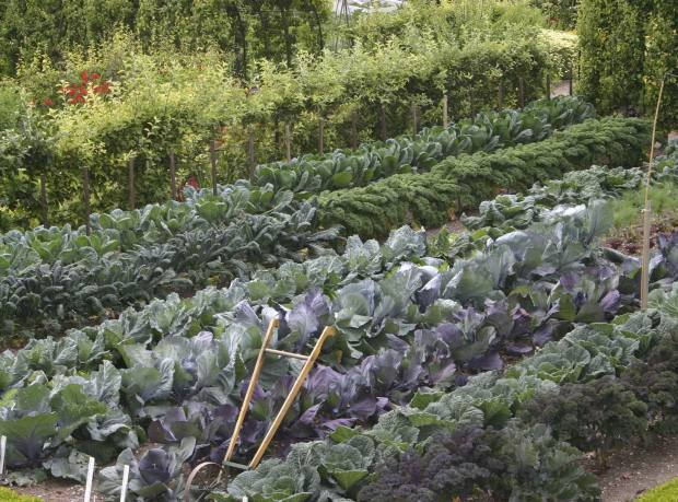 A brassica bed at the West Dean garden