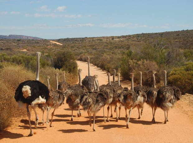 Ostriches at Bushmans Kloof.