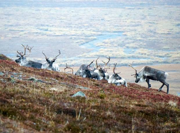 Reindeer graze on the tundra at Penkigney Bay