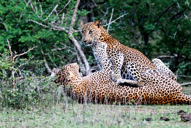 The lodge's main draw is its proximity to Yala National Park, which has one of the highest densities of leopards in the world