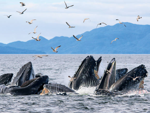 A pod of humpback whales feeding in the sea off British Columbia