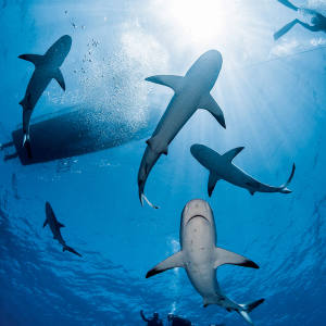 Sharks abound on Avalon's diving trips in the Jardines de la Reina