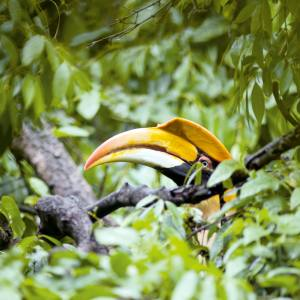 The great hornbill is one of many bird species guests might spot on Natural World Safaris' journey through India's Western Ghats