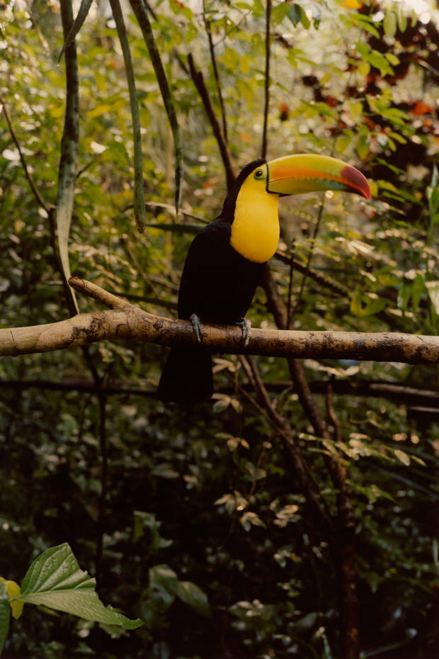 A toucan in the jungle – 100 per cent of the book's profits go to the World Land Trust