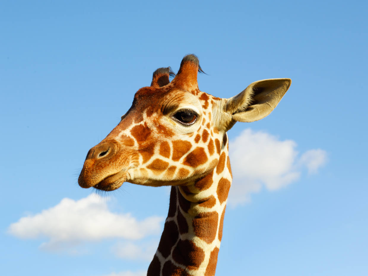 Khari is ZSL Whipsnade Zoo's youngest giraffe