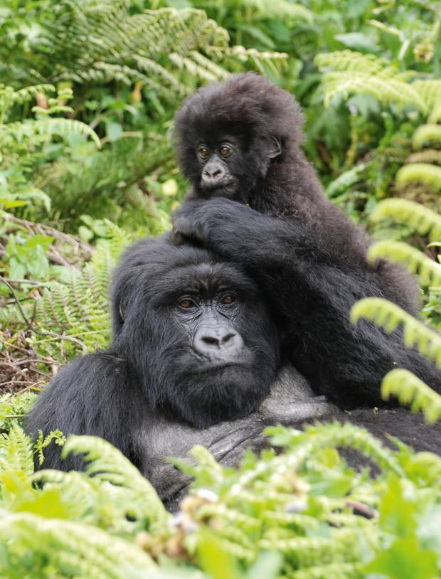 A mother and baby gorilla