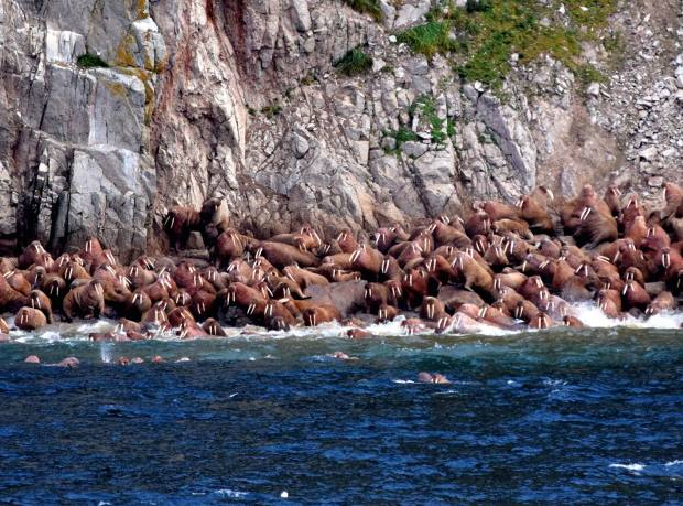 Walruses gather on the shore of Big Diomede