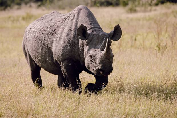 Black rhino have been brought here from South Africa to protect themagainst poachers