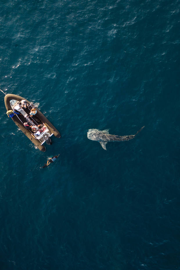 Along the coast of Sumbawa, guests swam with inquisitive whale sharks for almost an hour