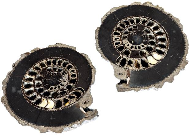 McGregor's ammonites, price on request