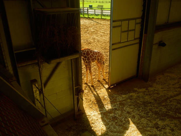 Whipsnade's giraffe house with Khari outside