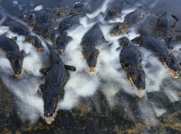 Caiman throng the waters.