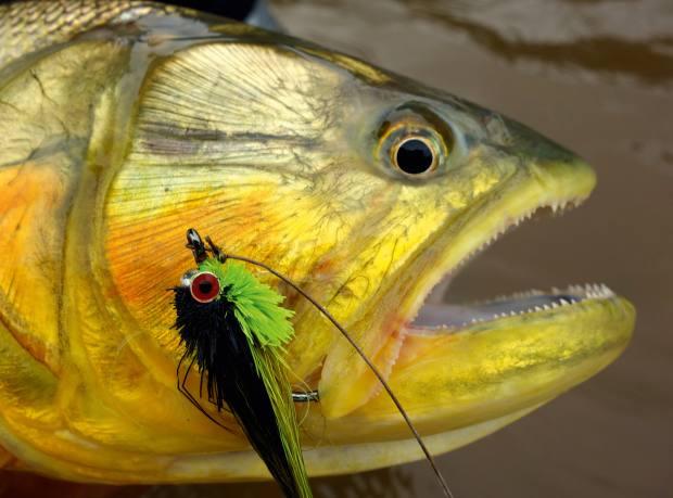 A golden dorado with an Andino fly