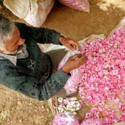 Kashan rose plantation