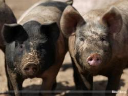 Genus outlook dims on pork prices