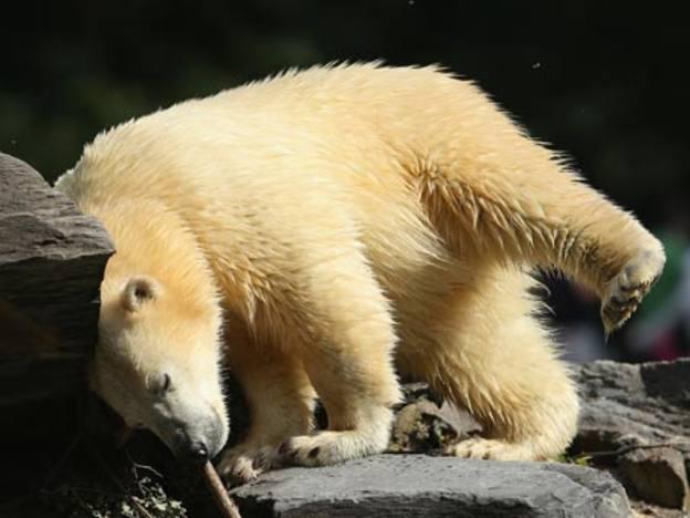 Rolling bears, bouncing felines