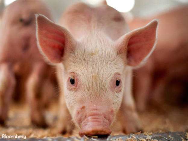 Pig breeding delivers the goods but dairy prices dampen spirits at Genus