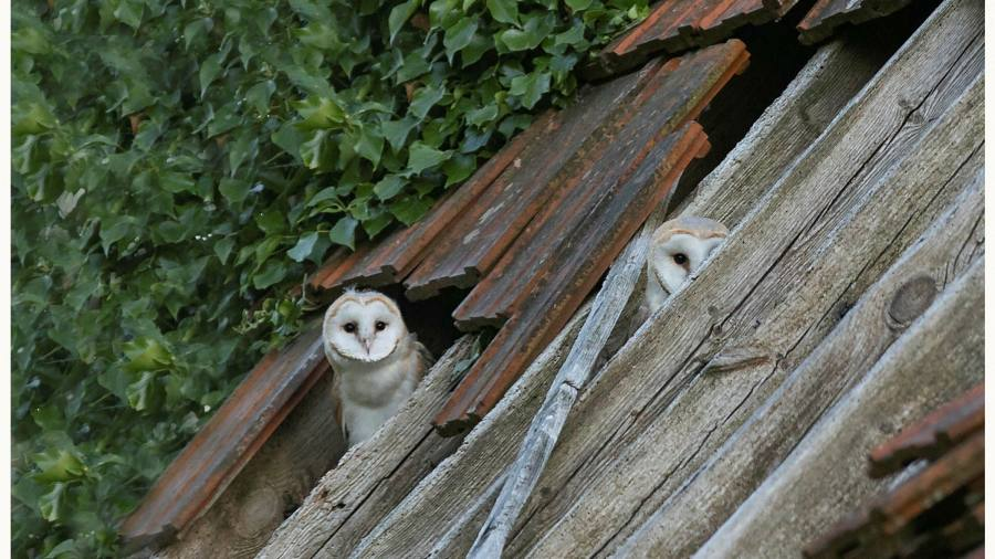 The owls that remained: why developers build natural habitats in our homes